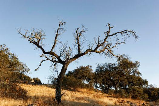 Dead acorn tree in a field of a village in Spain