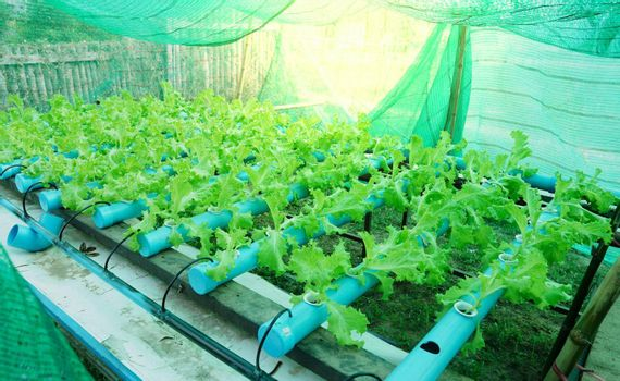 Fresh green organic salad greens are grown using water pipes or hydroponic farming.