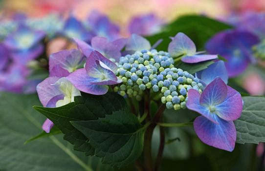 Close up purple hydrangea hortensia flowers