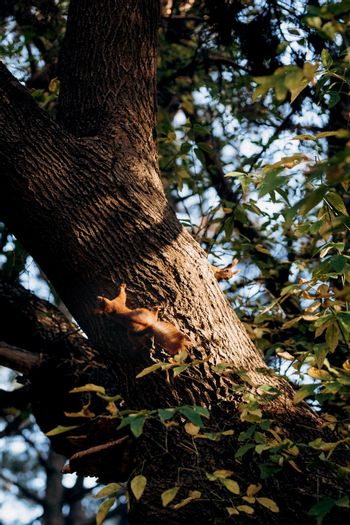 two red furry squirrel sits on the trunk of a brown tree