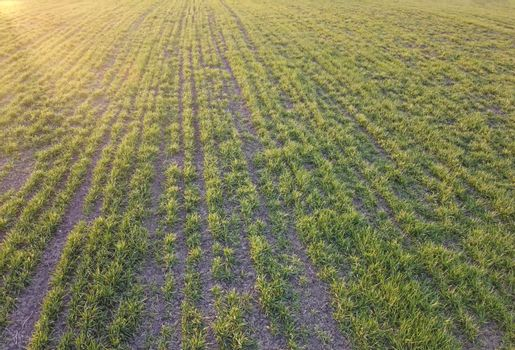 Poor germination of wheat yield. Field with wheat crops in the morning at sunrise