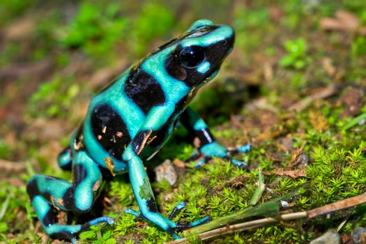 Green and Black Poison Dart Frog, Tropical Rainforest, Costa Rica