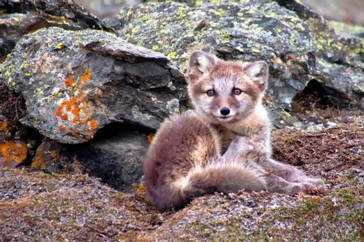 Arctic Fox, Nordvest-Spitsbergen National Park, Arctic, Svalbard, Norway