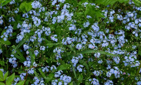 Meadow plant background: blue little flowers - forget-me-not close up and green grass