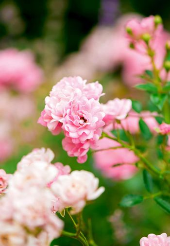 park rose-cattail grows in the garden in summer