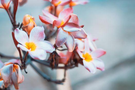Plumeria flowers soft tone