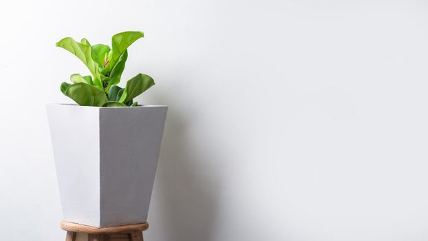 Fiddle fig plant in cement pot