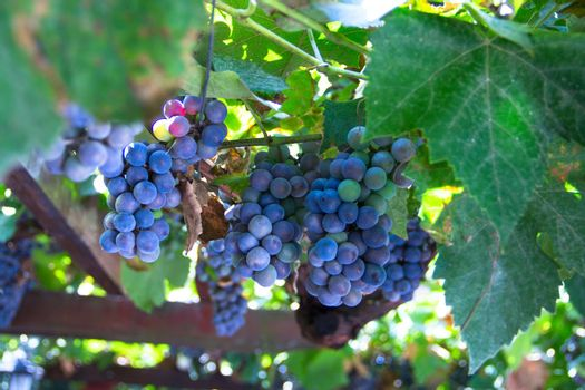 Many bunches of ripe red grape at vine outdoor harvesting season concept . close up shot with copy space