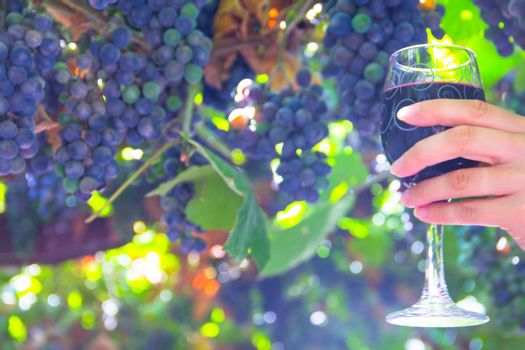 Hand holding red wine in a glass bunches of ripe red grape at vine outdoor