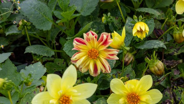Yellow Dahlias on a green flower bed.