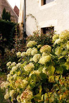 Fallen white hydrangea flower heads in the autumn near old house