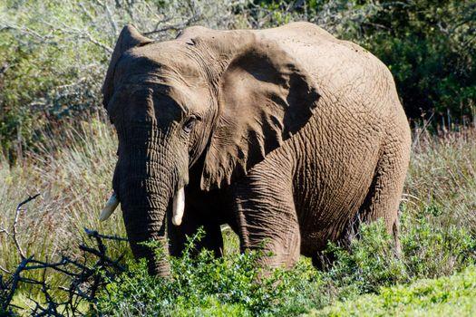 Single African Elephant