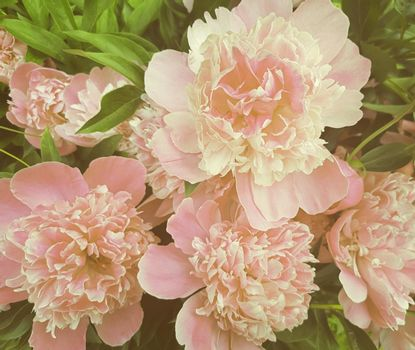 The beautiful pink large peony blossoming in a garden, is photographed by a close up.
