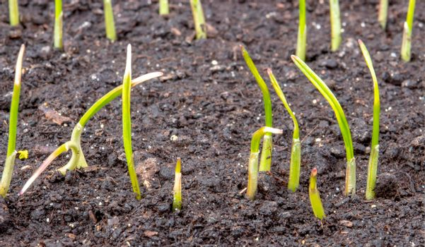 leaves of germinating young wheat from chernozem soil.