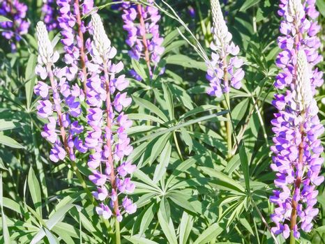 In the meadow of various wildflowers in bloom: lupine, Daisy, variety of grass, illuminated by the morning sun.