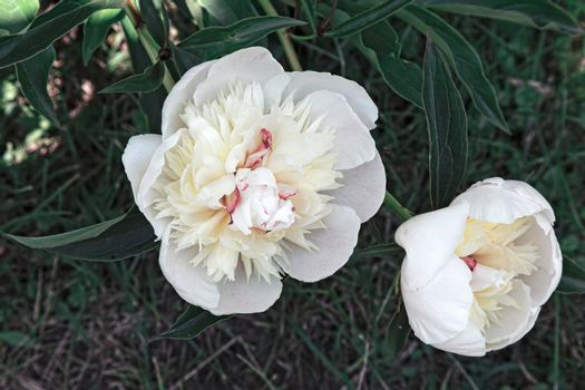 The beautiful large white peony blossoming in a garden among the green leaves, is photographed by a close up.