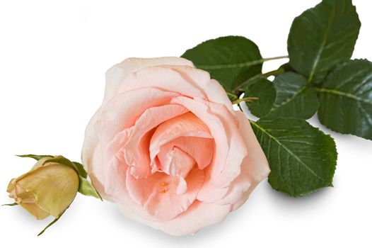 Beautiful pink flower hybrid tea roses on a white background. The closeups .