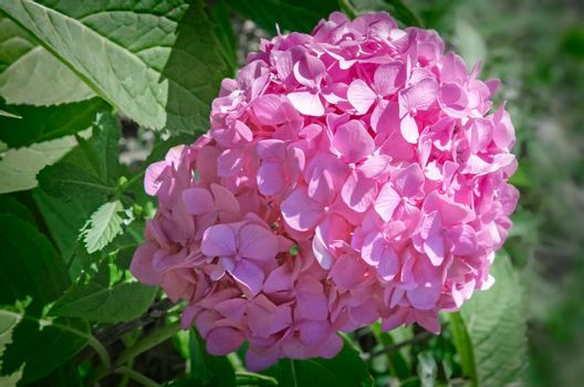 Beautiful pink hydrangea flower , blooming in the garden . Photographed closeup on a background of green leaves.