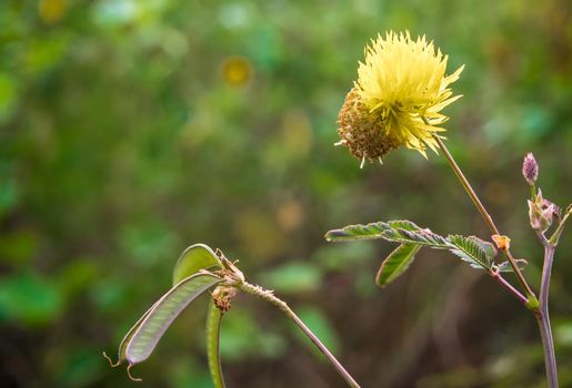 Flower, pod and leaves of Giant sensitive plant