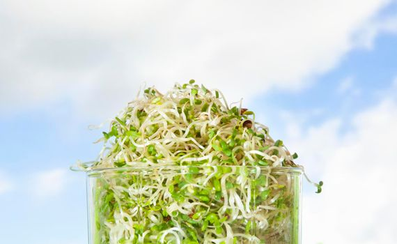 Macrobiotic food. Mix of fresh sprouts in glass jar. Alfalfa Sprouted Seeds