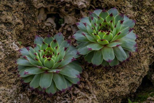 Sempervivum tectorum, Perennial plant growing in a botanic garden.