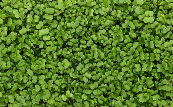 Green arugula microgreens background