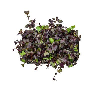 Purple radish microgreen in black tray on white