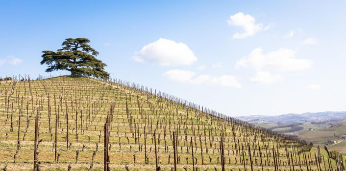 Barolo and Barbaresco countryside in Piedmont region, Italy. Vineyard with grapes cultivation for red wine.
