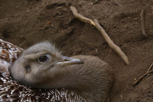 Close-up of an ostrich sitting in a pit and incubating eggs.