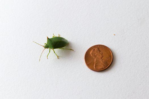 Green stink bug (Nezara Viridula) next to a US dollar cent coin for scale.