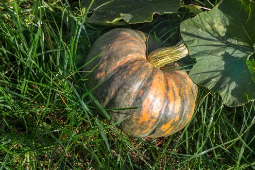 Pumpkin grows in the garden among green leaves.
