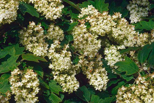 Oakleaf hydrangea flowers.