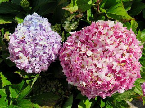Hydrangea flowers at the garden