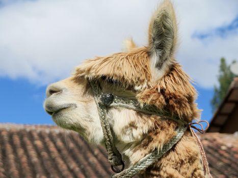 Llama close up, Sacred Valley, Machu Picchu, Cuzco, Peru
