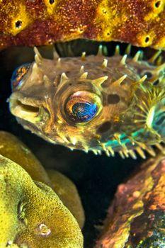Porcupinefish, Rounded Porcupinefish, Lembeh, North Sulawesi, Indonesia