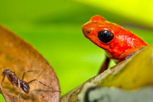 Dart Poison Frog, Blue Jeans, Tropical Rainforest, Costa Rica