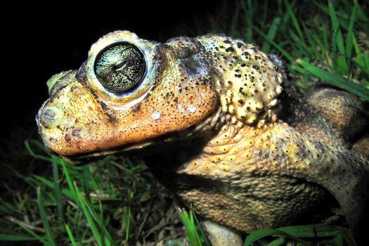 Cuban Toad, Playa Giron, Cuba, America