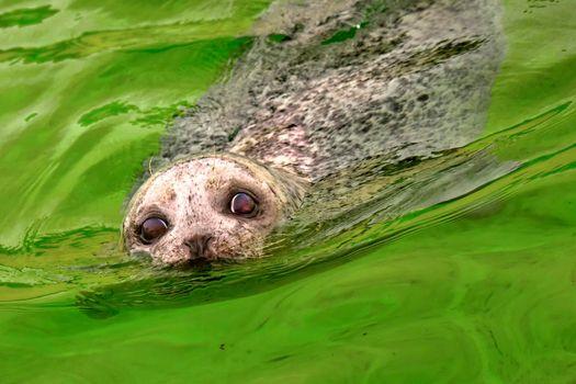 Harbour Seal, Deltapark Neeltje Jans, Netherlands