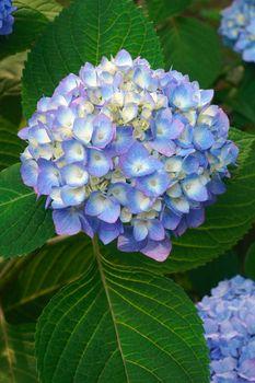 Bigleaf hydrangea flowers.