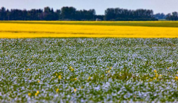Flax and Canola