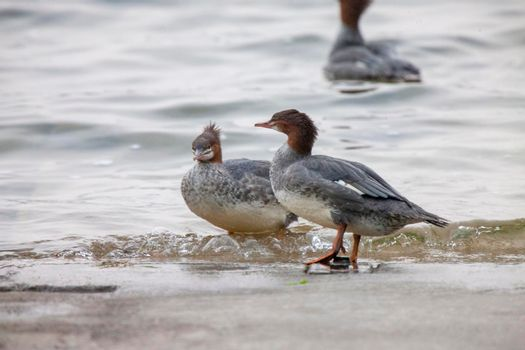 Northern Merganser Duck