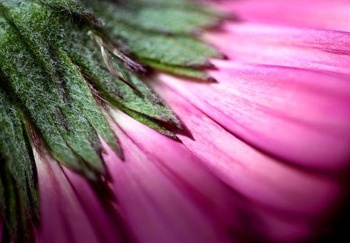 Pink Flower Iris