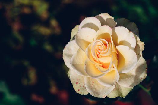 White rose bud in a garden