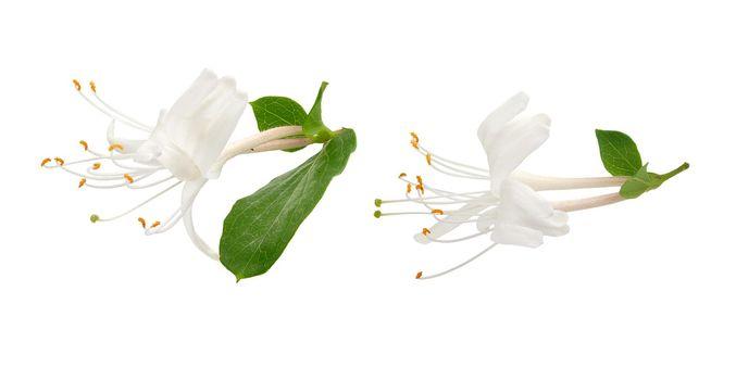 Blossoming flower of honeysuckle