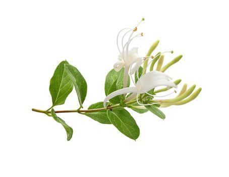 Branch of blossoming honeysuckle
