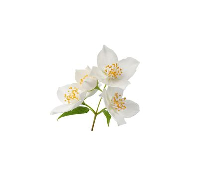 Branch of blossoming jasmine