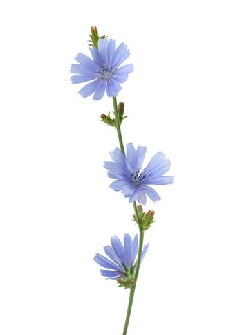 Chicory flower on the white