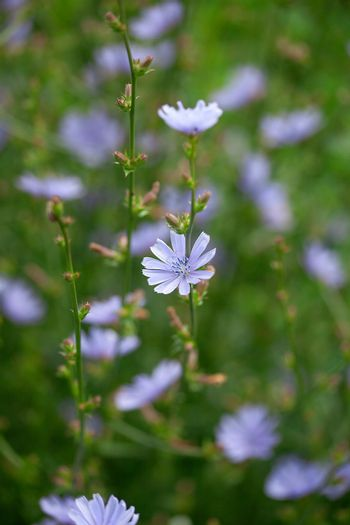 Chicory flowers on the meadow