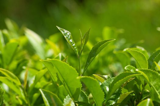 Green tea bush