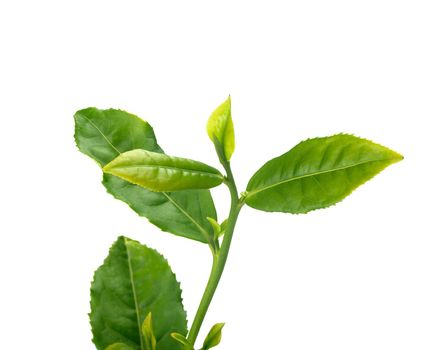 Tea branch with top leaves